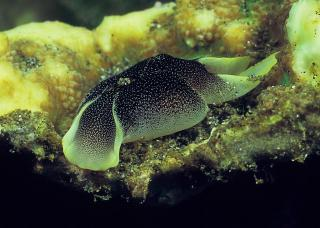 Unnamed Cephalaspidea