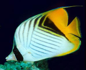 Unnamed Chaetodontidae